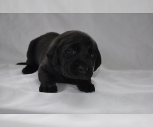 Labrador Retriever Puppy for sale in ADKINS, TX, USA