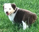 Australian Shepherd Puppy For Sale in LOUISVILLE, Kentucky,