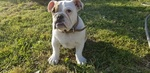 English Bulldog Puppy For Sale in HEMET, CA, USA