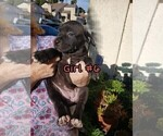 Small #7 American Pit Bull Terrier-Cane Corso Mix