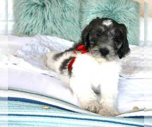 F2 Aussiedoodle Puppy for Sale in PACIFICA, California USA