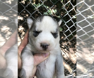 Siberian Husky Dog for Adoption in WILLIAMSBURG, Virginia USA
