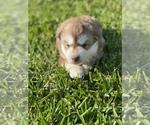 Puppy 1 Siberian Husky