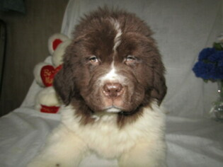 Newfoundland Puppy for sale in HUDSON, MI, USA