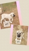 Small #1 Anatolian Shepherd