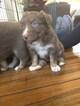 Australian Shepherd Puppy For Sale in CAMDEN, OH, USA