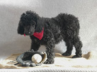 Poodle (Standard) Puppy For Sale in KENSINGTON, Ohio,