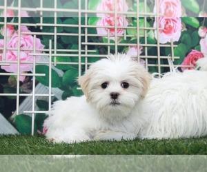 Shih Tzu Dog for Adoption in MARIETTA, Georgia USA