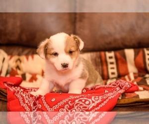 Pembroke Welsh Corgi Puppy for Sale in NEWVILLE, Pennsylvania USA