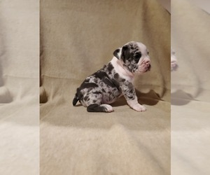 English Bulldog Puppy for sale in WALDORF, MD, USA