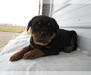 Rottweiler Puppy for sale in BLMGTN, IN, USA