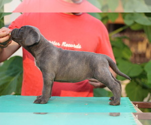Cane Corso Puppy for sale in BROOKLYN, NY, USA