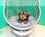 Puppy 3 YorkiePoo