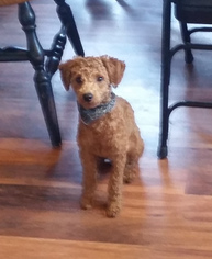 Poodle (Toy) Puppy For Sale in WELLSBORO, PA