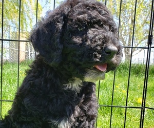 Poodle (Standard) Puppy for sale in ODESSA, WA, USA