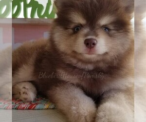 Pomsky Puppy for Sale in RAMSEY, Minnesota USA