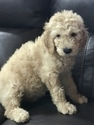 Goldendoodle Puppy For Sale in JACKSONVILLE, FL, USA