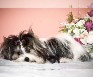Biewer Terrier Puppy for sale in Kyiv, Kyiv City, Ukraine