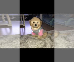 Maltipoo Puppy for sale in SAN JOSE, CA, USA