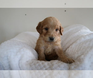 Goldendoodle Puppy for sale in JACKSON, MI, USA