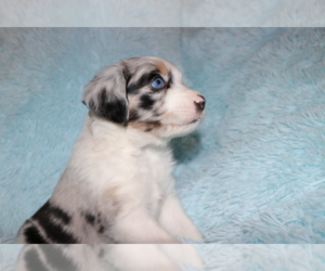 Miniature Australian Shepherd Puppy for Sale in MANSFIELD, Texas USA