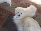 American Eskimo Dog Puppy For Sale in PLACERVILLE, CA, USA