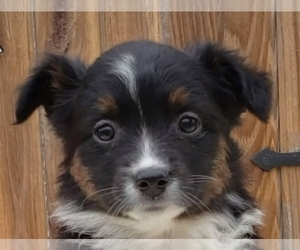 Miniature Australian Shepherd Puppy for Sale in SUGARCREEK, Ohio USA