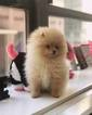 Pomeranian Puppy For Sale in NEW YORK, New York,