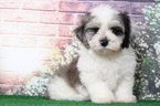 Havanese-Poodle (Standard) Mix Puppy For Sale in BEL AIR, MD, USA