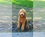 Small Photo #19 Poodle (Standard) Puppy For Sale in DYERSBURG, TN, USA