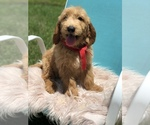 Goldendoodle Puppy For Sale near 34758, Kissimmee, FL, USA