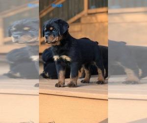 Rottweiler Puppy for sale in CRETE, IL, USA