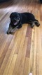 Rottweiler Puppy For Sale in BUFFALO, NY, USA