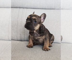 French Bulldog Puppy for sale in MARTINSVILLE, NJ, USA