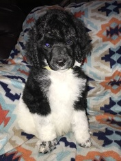 Poodle (Standard) Puppy For Sale in OOLOGAH, OK, USA