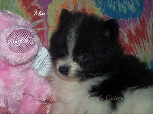 Pomeranian Puppy For Sale in ELKLAND, MO