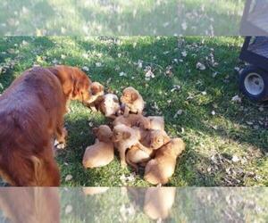 Golden Retriever Puppy for Sale in LEON, Kansas USA