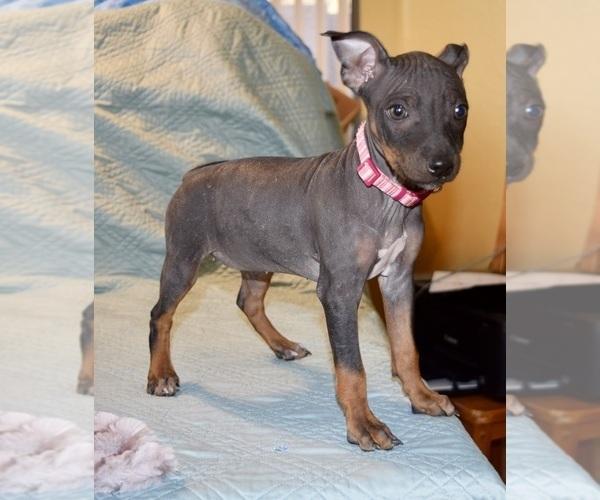Medium Photo #1 American Hairless Terrier Puppy For Sale in PHOENIX, AZ, USA