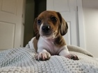 Dachshund Puppy For Sale in LEANDER, Texas,