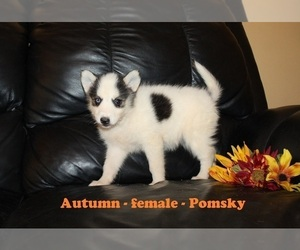 Pomsky Puppy for Sale in CLARKRANGE, Tennessee USA