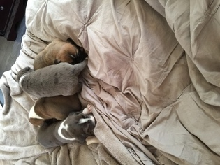 Saint Dane Puppy For Sale in OCEANO, CA