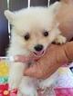 Pomeranian Puppy For Sale in GRANBURY, TX, USA