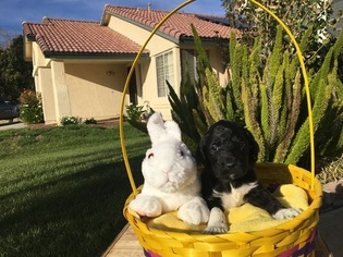 Australian Labradoodle Puppy For Sale in REDLANDS, CA, USA