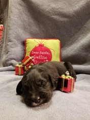 Bernese Mountain Poo-Goldendoodle Mix Puppy For Sale in RIVERSIDE, CA, USA