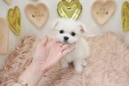 Pekingese-Poodle (Toy) Mix Puppy For Sale in LAS VEGAS, NV, USA