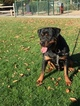 Rottweiler Puppy For Sale in CHICO, CA, USA
