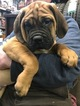 Bullmastiff Puppy For Sale in FLAT ROCK, MI, USA