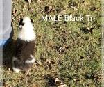 Small #8 Australian Shepherd