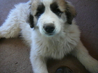 Great Pyrenees Puppy For Sale in BLANCA, Colorado,