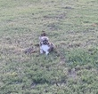 Small #8 Chihuahua
